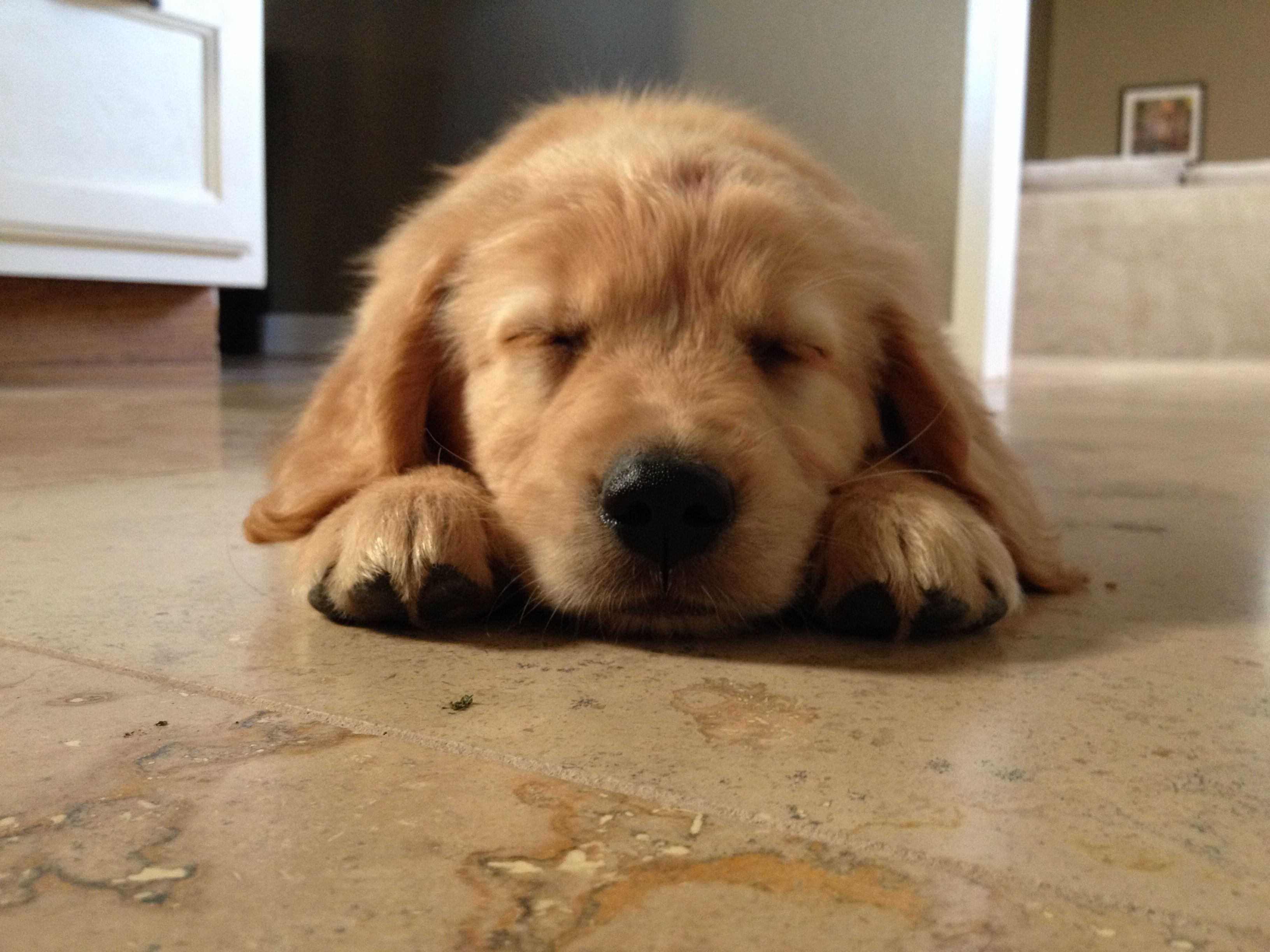 Livy The Sleepy Golden Retriever Puppy 8 Weeks Retriever Puppy