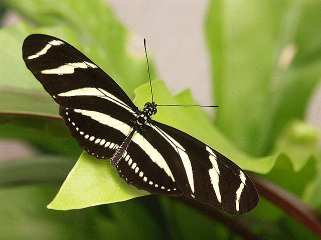 Tropical butterflies at Knokke butterfly center : Heliconius charitonia, Zebra Heliconian by henk.wallays, via Flickr