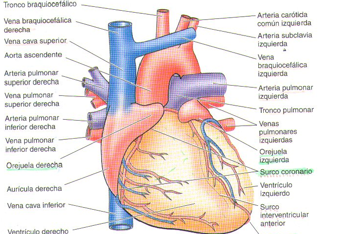 Encantador Imágenes De La Anatomía Del Corazón Colección - Anatomía ...