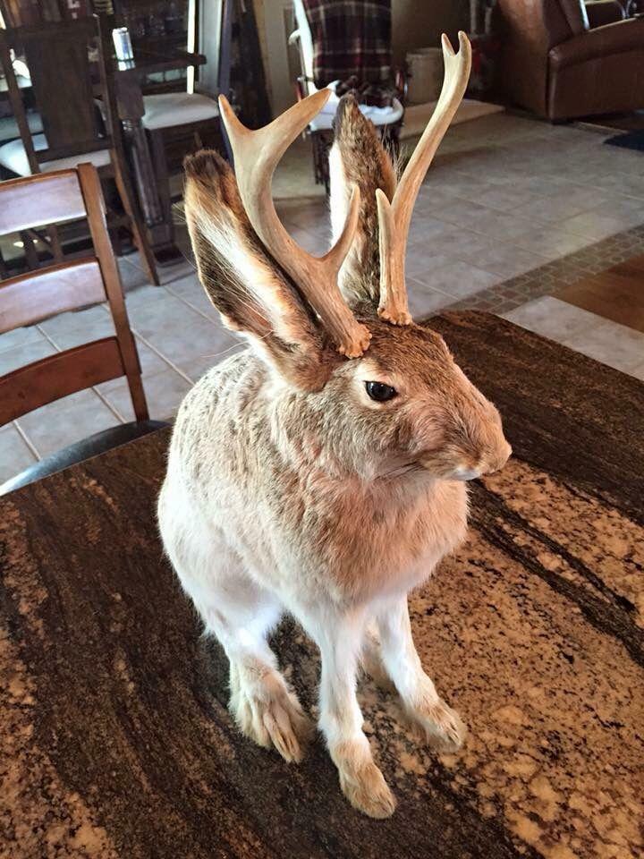 Jackalope Jackalope Mythical Creatures Animals