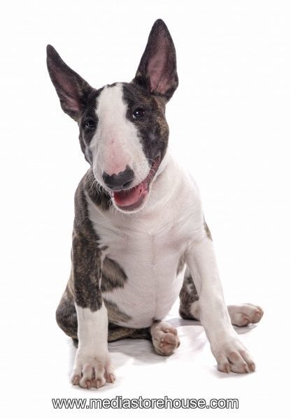 Print of English bull terrier puppy in 2020 English bull