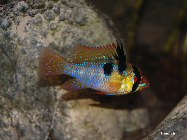 Adult male from the Danish aquarium trade.