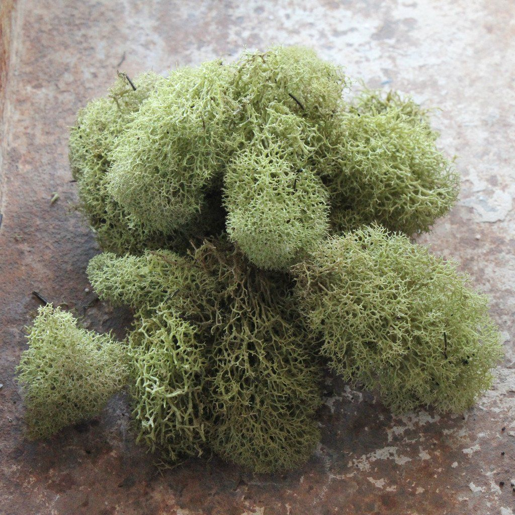 Reindeer moss green in moss pinterest moss garden