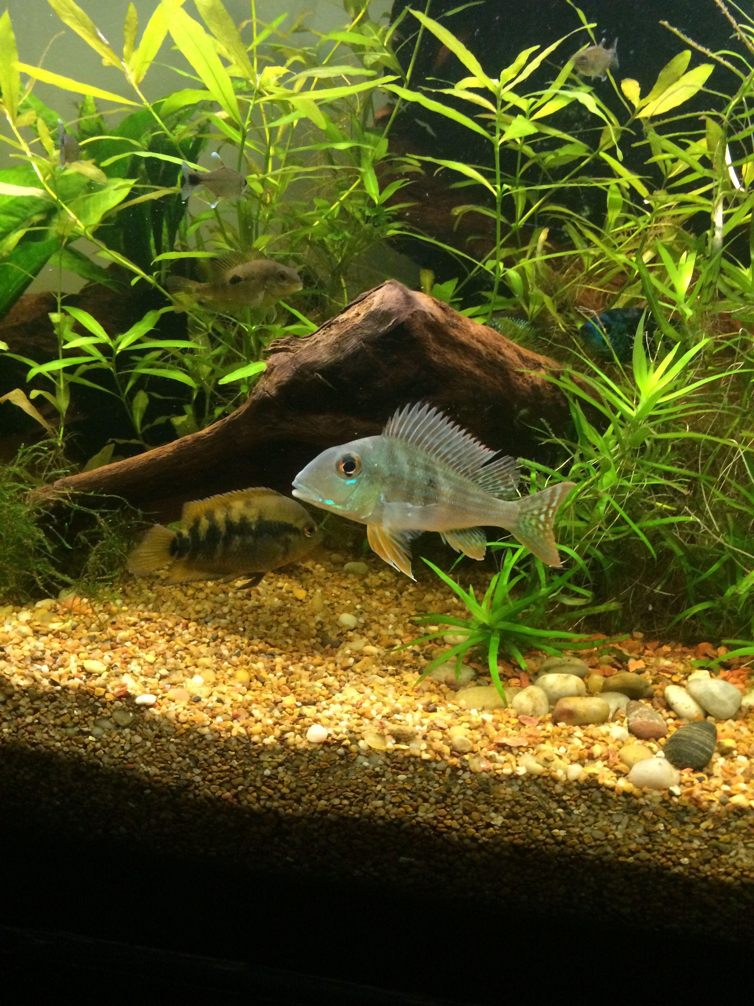 Geophagus surinamensis fish pet pets animals