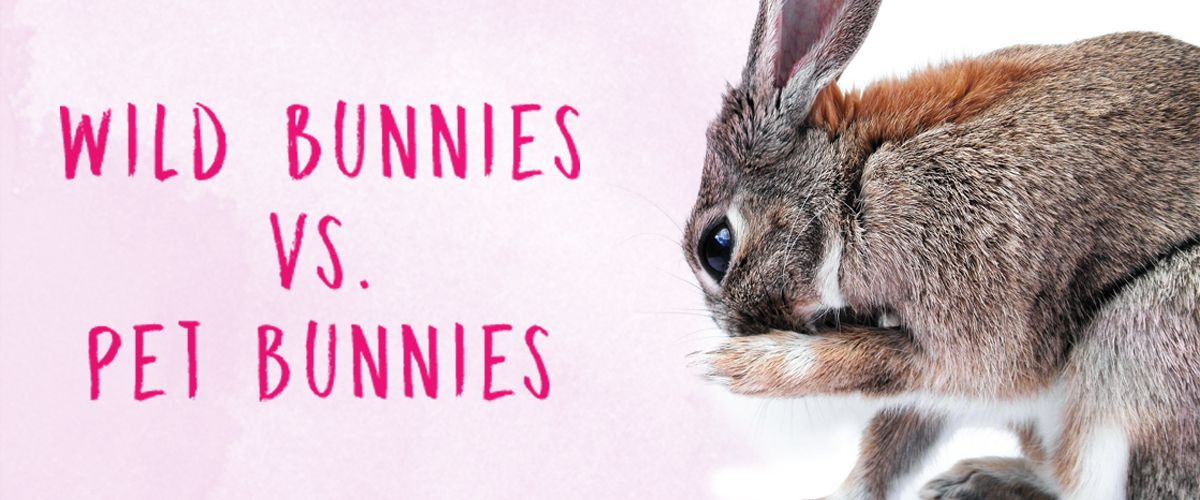 wild bunny versus pet bunny   Wild bunny, Pet bunny, Cat ...