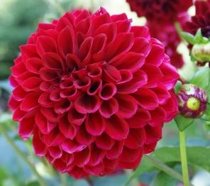 Red Dahlia Beautiful Flower Meanings Dahlia Flower Flowers