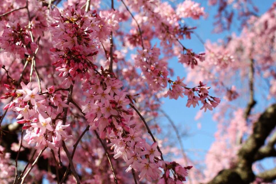 Cherry Blossoms In Dc Like My Fb Page Winny S Photography Cherry Blossom Dc Blossom Flowers