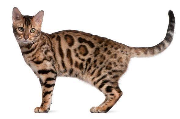 Bengal Cats Tumblr Bengal Cat White Bengal Cat Bengal Kitten
