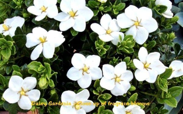 Gardenia Daisy Hardy Hybrid Size 1 Gardenia Shrub Gardenia