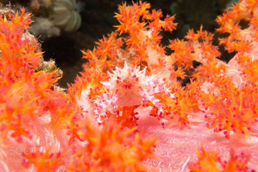 """Soft Coral Crab Go to http://iBoatCity.com and use code PINTEREST for free shipping on your first order! (Lower 48 USA Only). Sign up for our email newsletter to get your free guide: """"Boat Buyer's Guide for Beginners."""""""