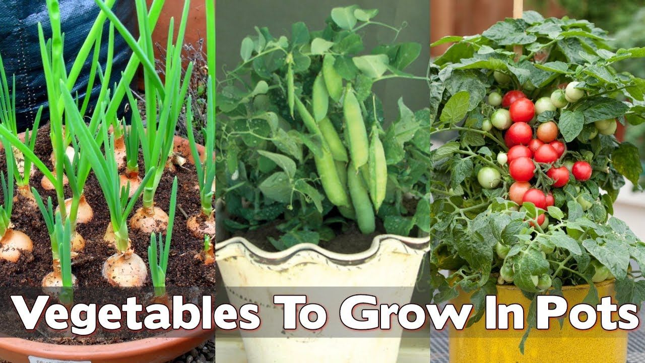 15 Easiest Vegetables To Grow In Pots For Beginners Growing