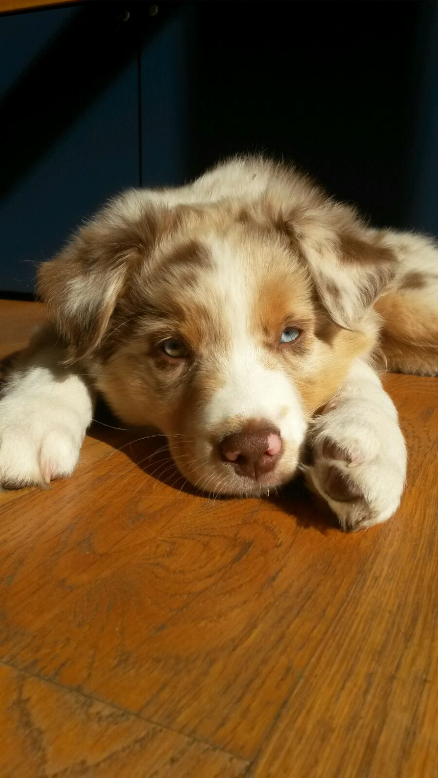 Red Merle Aussie Puppy Aussie Puppies Australian Shepherd