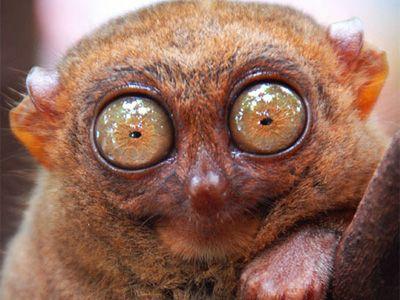 Yeux singe pinterest j 39 aime pinterest animaux animaux insolites et l murien - Jeux de toutou a gros yeux ...