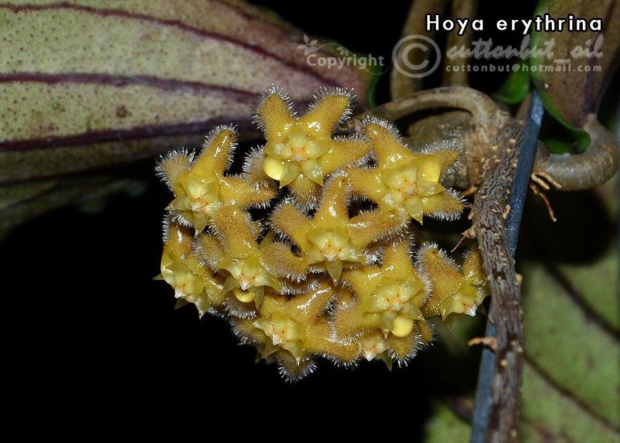 Hoya erythrina