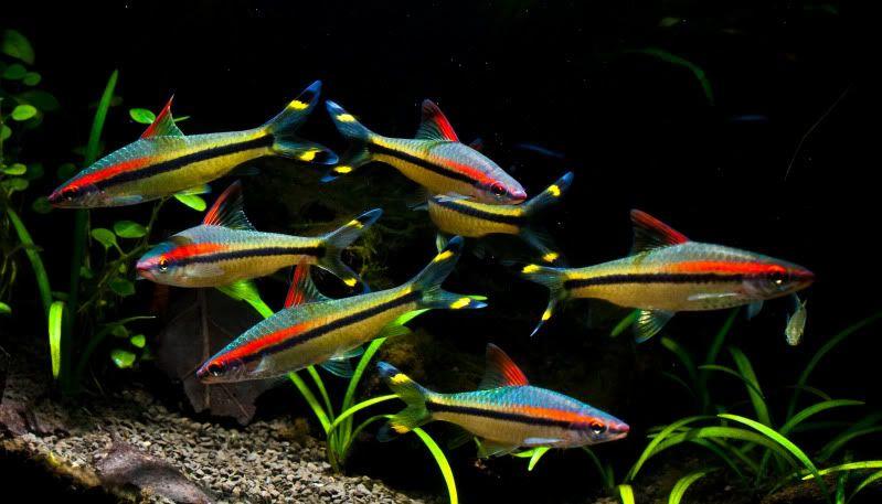 Denisonii Barb Aquarium Fish Aquarium Fish Tank Tetra Fish