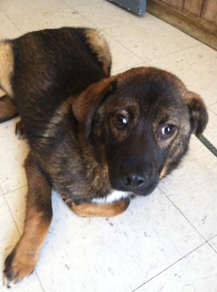 Kentucky Urgent Id 11 Is A 24lbs 5 6mo Old Shepherd Puppy Dog In Full Gassing Shelter Greenup Animal Control Ctr 140 Dog Gone La Animal Control