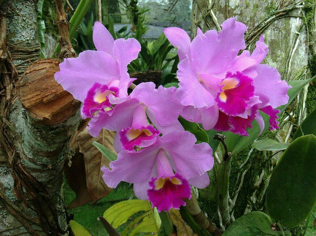 Pin By Flowers In Heart On Cattleya Orchids Beautiful Flowers Garden Cattleya Orchid Flower