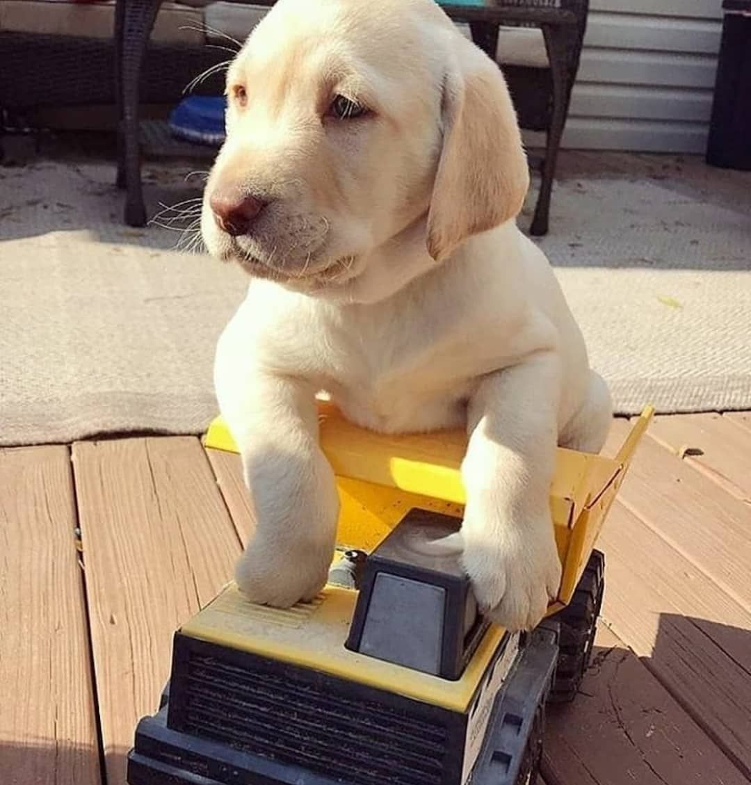 Pin By Nora Smith On Baby Animals Cute Labrador Puppies