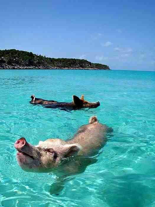 Swimming Pigs, Pig Beach, Pig Beach Bahamas