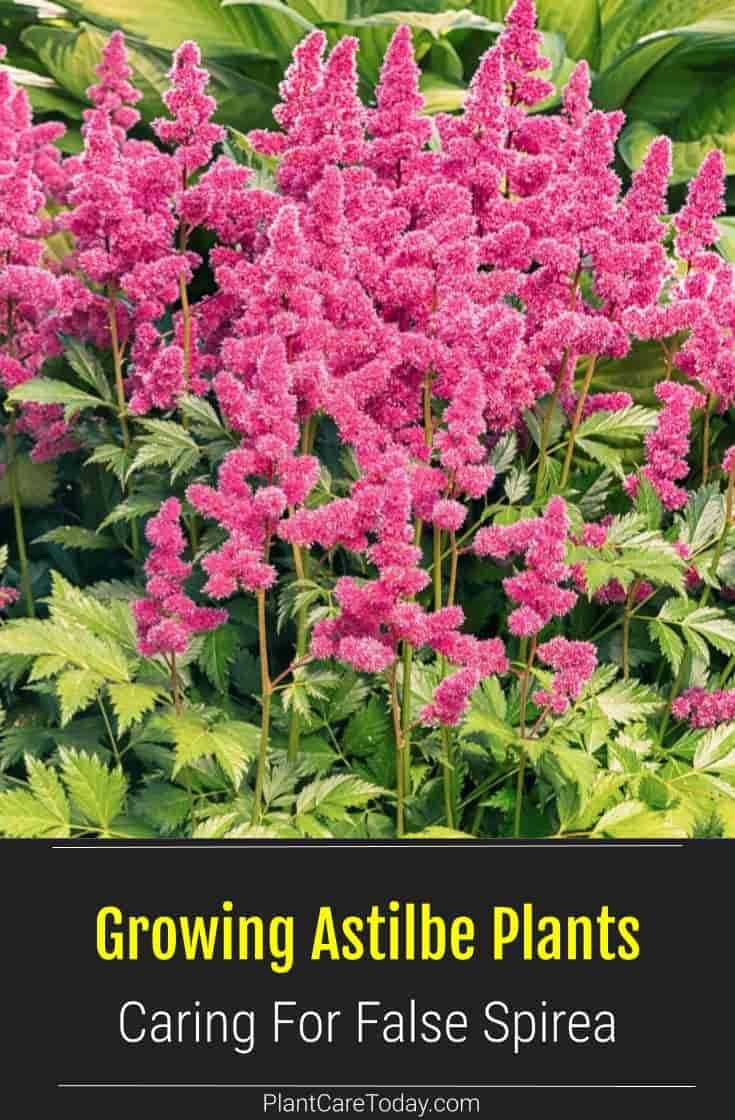 Astilbe Plant How To Grow And Care For False Goat S Beard In 2020