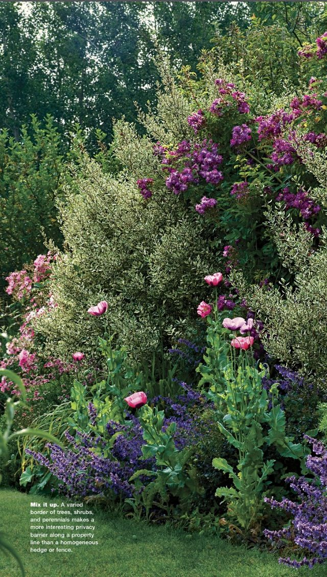 Variegated Italian Buckthorn With Pink N Purple Roses Catmint N Bright Pink Poppies Trew Out Winter Garden Purple Poppies Garden Shrubs