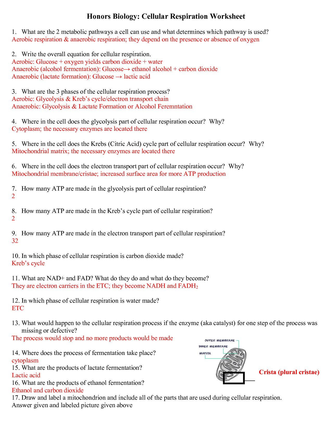 Photosynthesis And Cellular Respiration Worksheet 4 Best