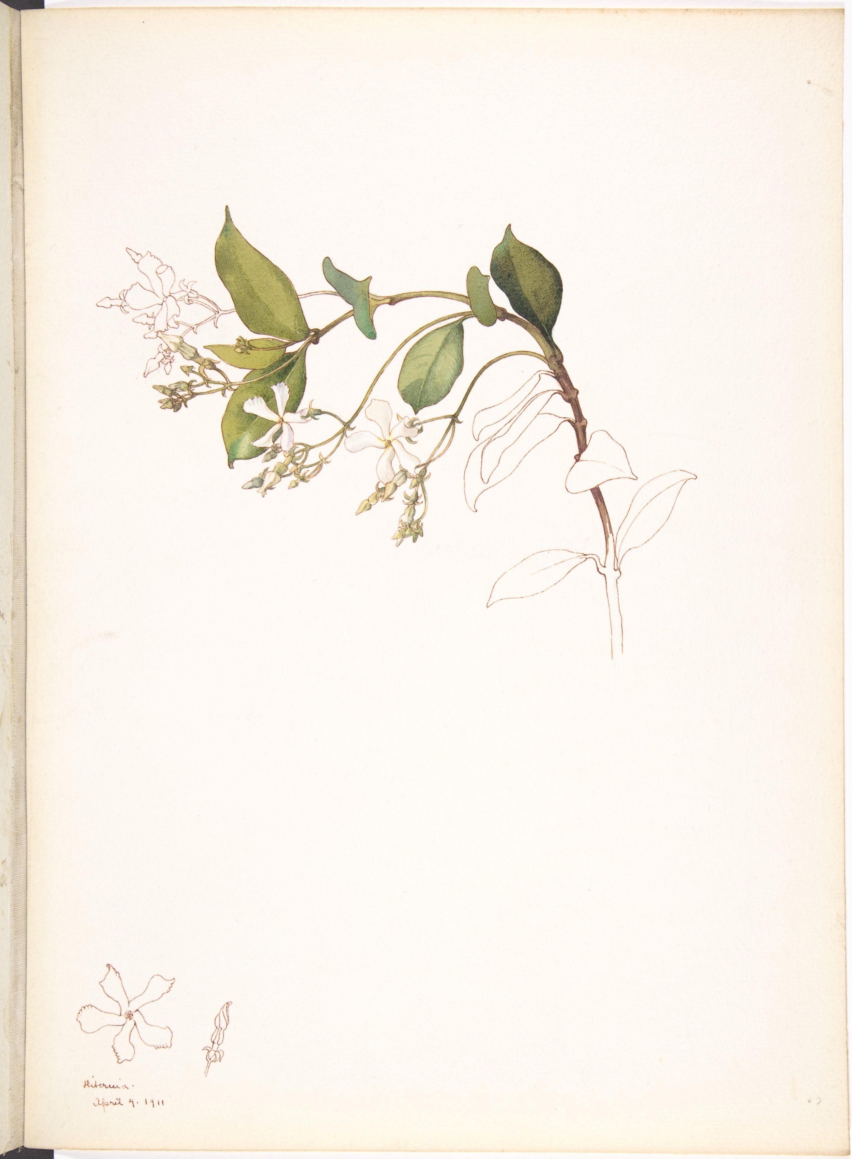 White jasmine margaret neilson armstrong botanical art white jasmine margaret neilson armstrong izmirmasajfo Gallery