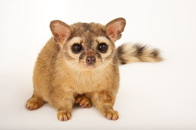 photo by @joelsartore | A ring-tailed #cat at the @FortWorthZoo. The name of this species is a bit of a misnomer because they aren't actually cats- they are part of the #raccoon family. They are also the state mammal of #Arizona #PhotoArk! #joelsartore
