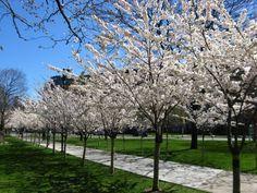 Prunus Fragrant Cloud Toronto Gardens Ornamental Cherry Small Trees For Garden