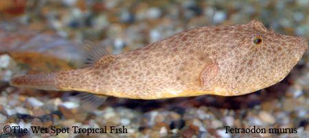 Tetraodon Miurus Congo Puffer Freshwater Fish Puffer Fish Tropical Fish