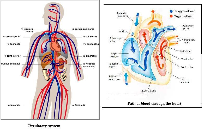 Systems Of The Body The Digestive Systems Supplies Food To The