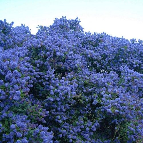 ceanothus 39 concha 39 c anothe persistante bleu violet lilas de californie flowers. Black Bedroom Furniture Sets. Home Design Ideas