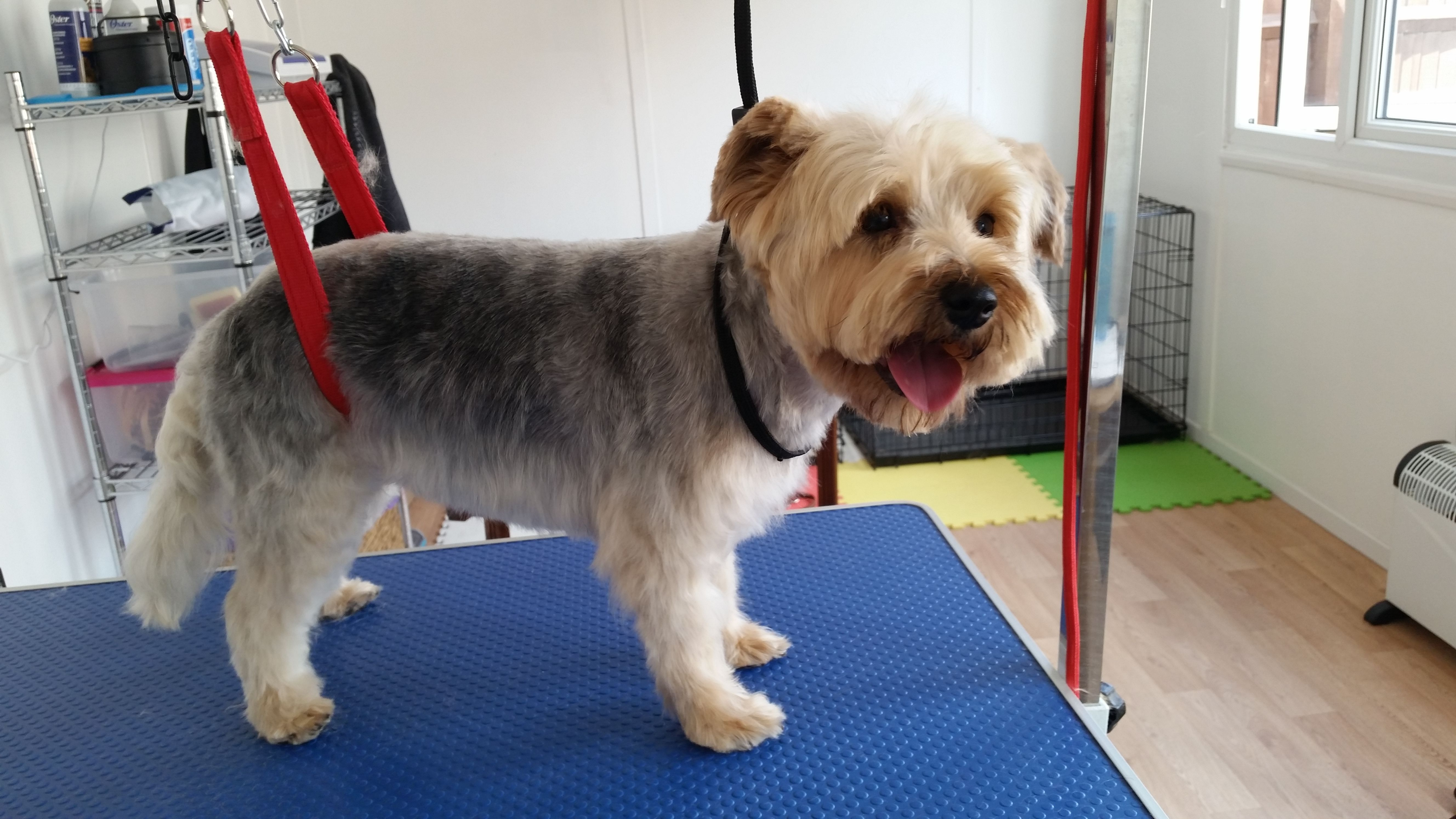 Fudge Yorkshire Terrier Cross Jack Russell After Groom At Petchase Yorkshire Terrier Dog Grooming Jack Russell