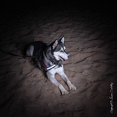 Husky on the beach #Sigma50mmArt #CanonPhotography - Husky - #husky Lucien Schilling posted a photo: Husky on the beach before dawn // Processed in LIghtroom Classic.