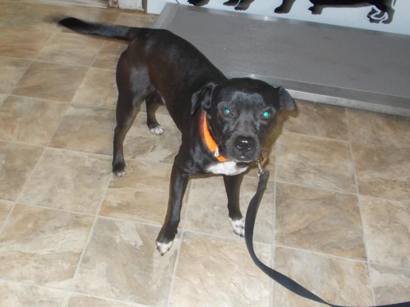 Adopt Peppy on Pitbull terrier, Pitbull facts, Homeless pets