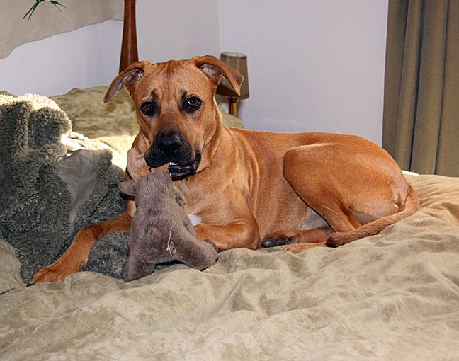 Brown Great Dane Boxer Mix Puppies Wallpaper Boxer Mix Puppies