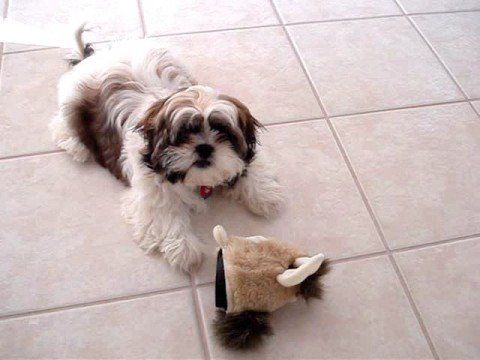 Meet Marley A Cute Shih Tzu Puppy For Sale For 400 Marley Beautiful Baby Girl Shih Tzu Puppy Shih Tzu Dog Shih Tzu For Sale