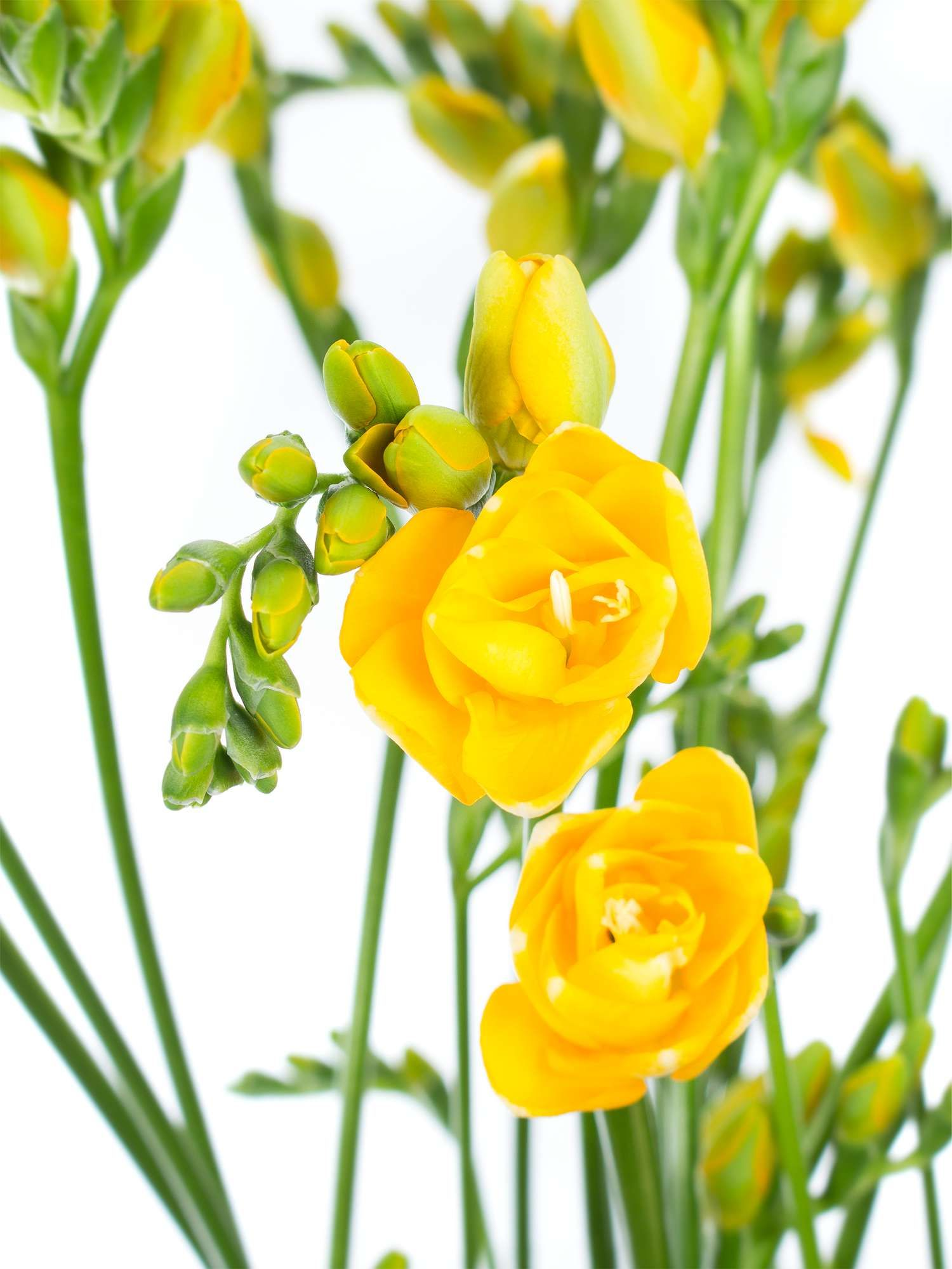 Freesien Soleil gelb  Hochzeit  GelbWei  Gelbe