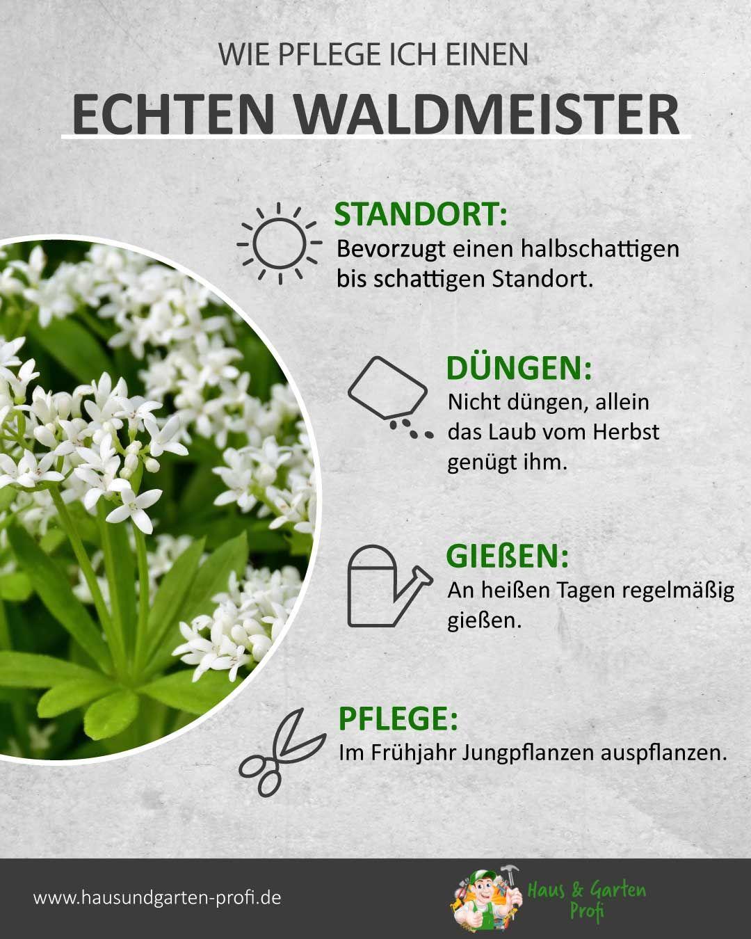 Echter Waldmeister: So einfach geht's (Standort, Düngen, Gießen, Pflege)