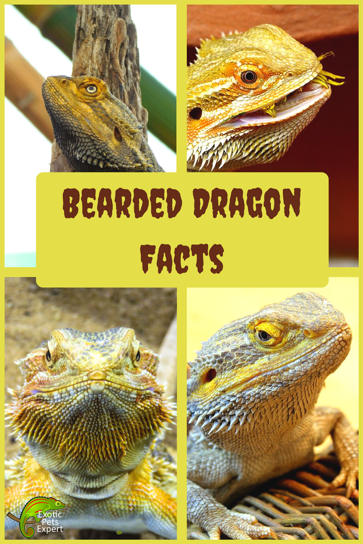 Bearded Dragon Facts! There not as scary as they look