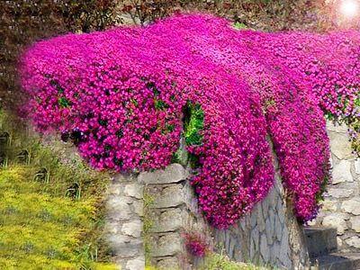 Informacje O Zagwin Cascade Red Dywany Kwiatow Na Skalniaki 6816889602 W Archiwum Allegro Data Zakonczenia 2017 06 13 Cena 4 99 In 2020 Plants Diy Garden Garden