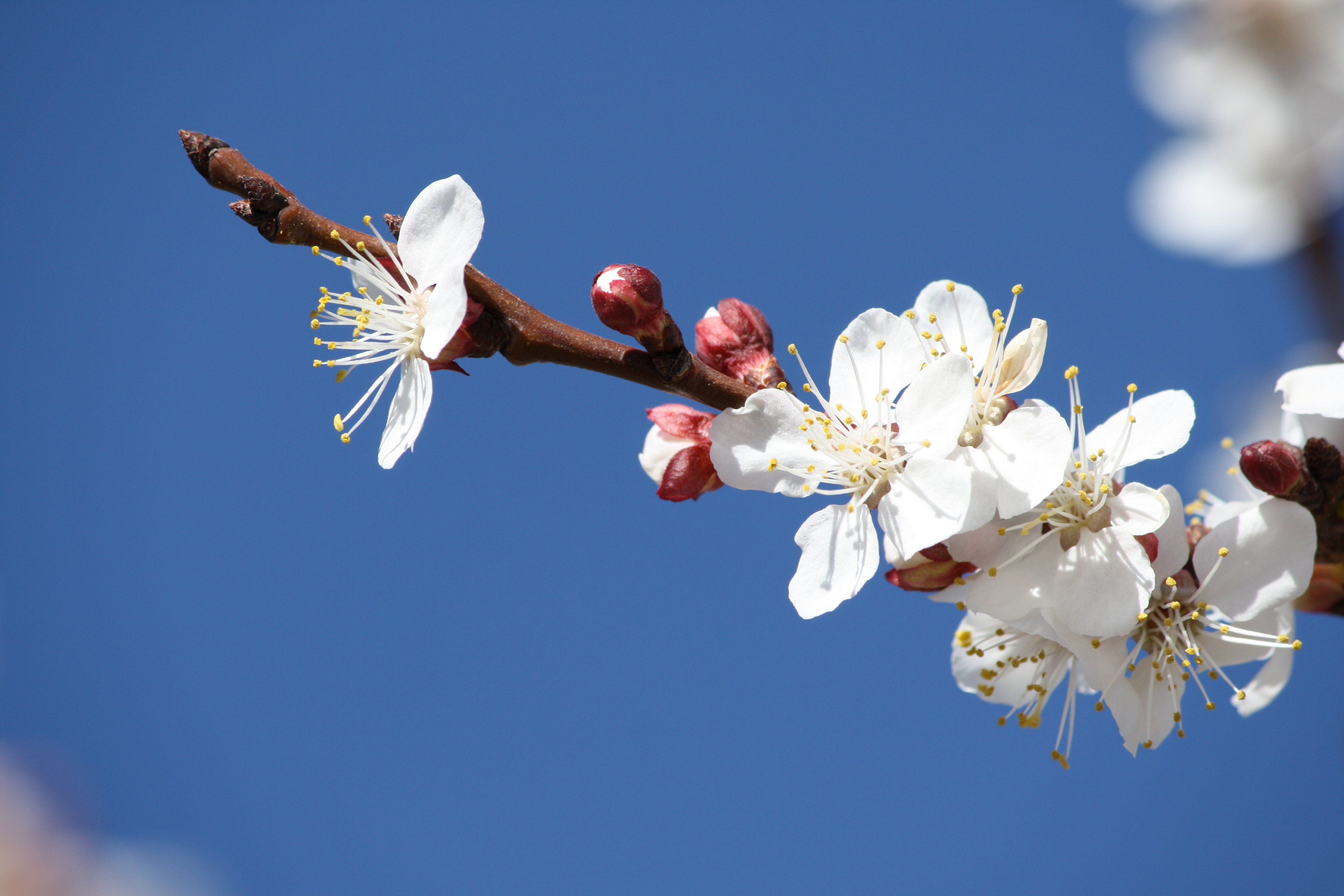 apricot tree in bloom google search art exhibition. Black Bedroom Furniture Sets. Home Design Ideas