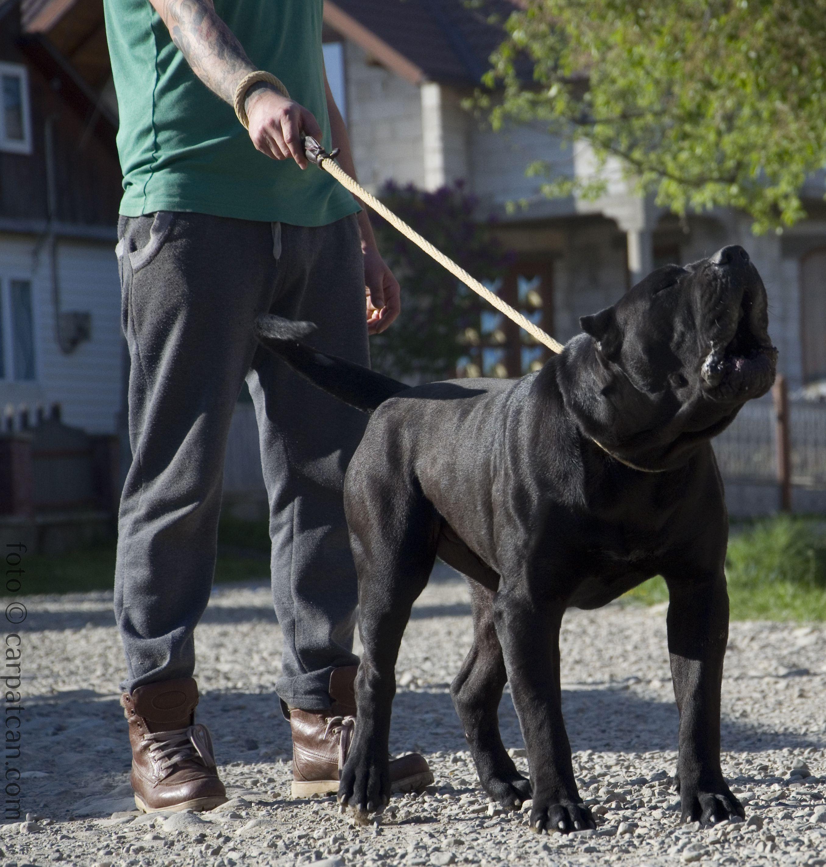 Black Presa Canario Cerber. Www.CarpatCan.com   pups ...