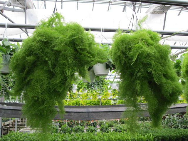 fern nephrolepis exaltata 39 smithii 39 cotton candy fern garten garden pflanzen plants. Black Bedroom Furniture Sets. Home Design Ideas