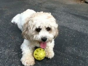 Healthy Teacup Maltese Text Us At 385 351 4290 For Sale In