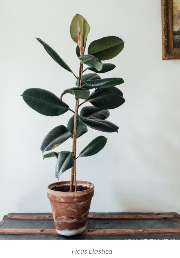 Ficus Elastica Home Design Decor Plants Indoor Rubber Plant