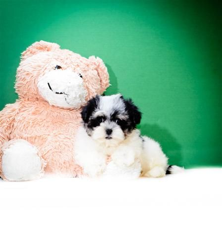 Buy Our Havanese Puppy For Adoption Near Cincinnati Ohio