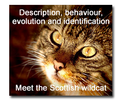 Learn all about the Scottish wildcat