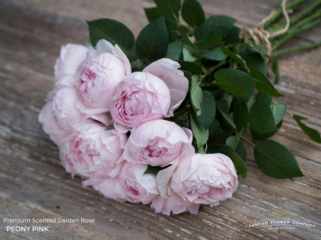 'Peony Pink' cabbage rose