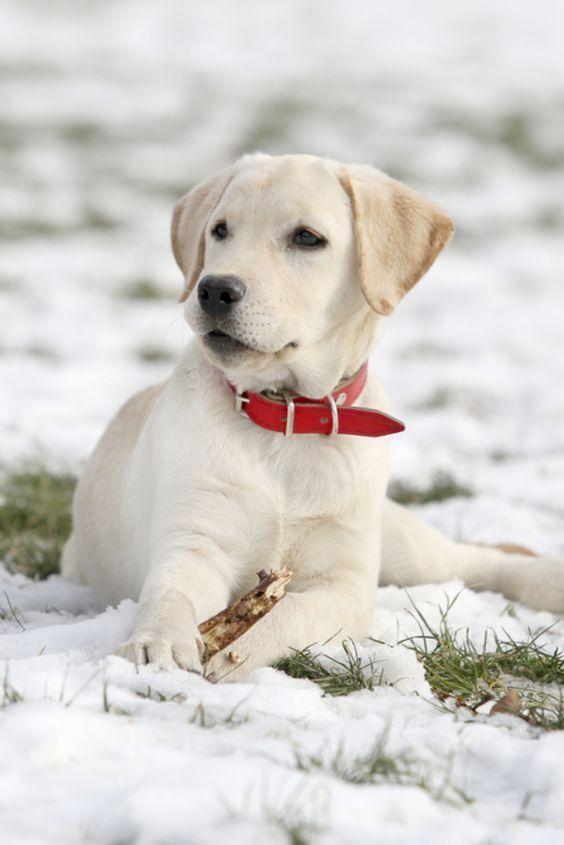 If You Love Labradors Visit Our Blog Labrador Labradorretriever Labradorcentral Retriever Labradors In 2020 Welpen Golden Retriever Labrador Labrador Retriever